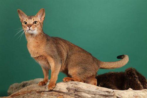Kucing Ceylon2