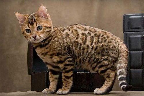Kucing Cheetoh