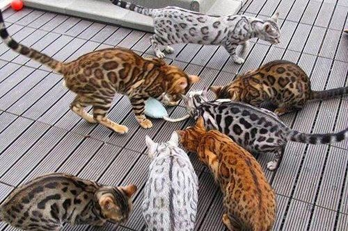 Kucing Hibrida