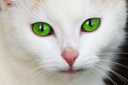 Kucing Mata Hijau