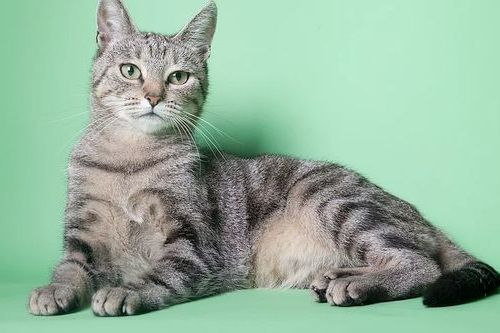 Kucing Nile Valley Egyptian Cat