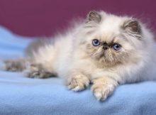 Kucing Persia Lucu Imut Gemes