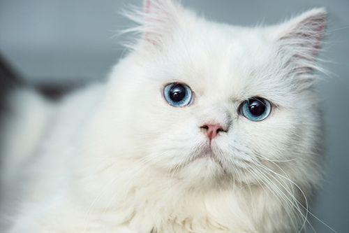 8 Fakta Unik Kucing Putih Cenderung Tuli Dan Membawa Keberuntungan Gerava Ikan Hias Burung Kicau Kucing Anjing