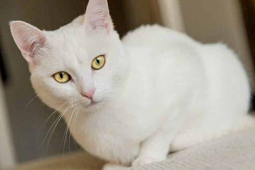 Kucing Putih Lucu 3