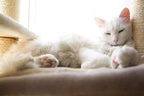 Kucing Putih Lucu 4