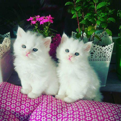 Kucing Putih Lucu 6