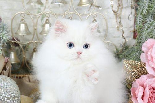 Kucing Putih Lucu 8