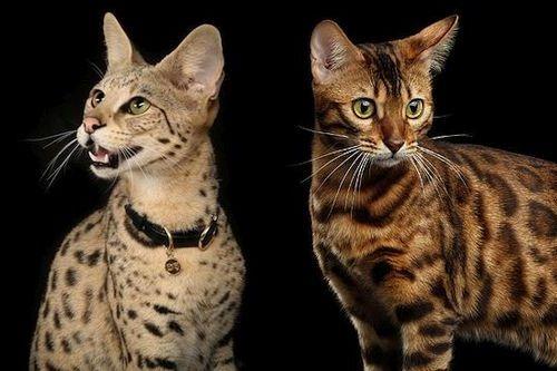 Kucing Savannah dan Bengal