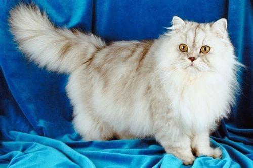 Kucing Shirazi