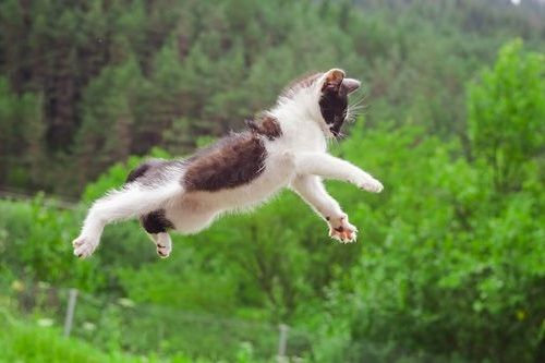 kucing loncat