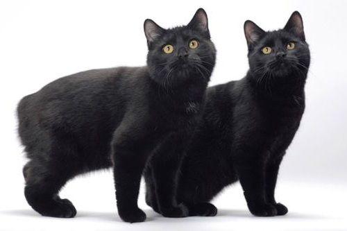 Kucing manx tanpa ekor