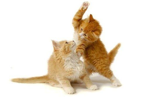 Kucing oren berkelahi