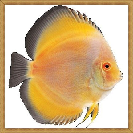 Lemon Yellow Diamond Discus