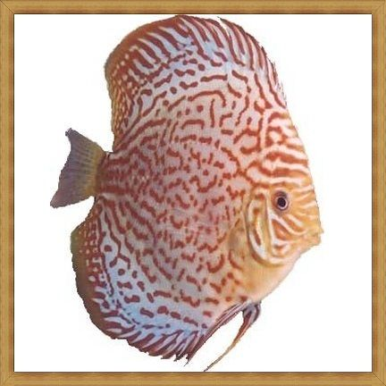 Leopard Diamond Discus