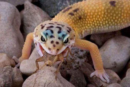 Makanan Tokek Hias Gecko
