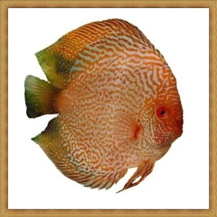Orange Spotted Scorpion Discus