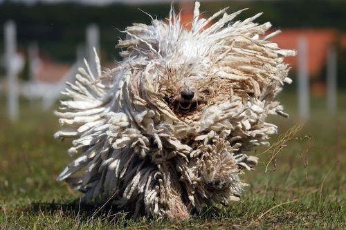 Penampilan Anjing Komondor
