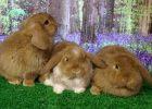 Piaraan Kelinci