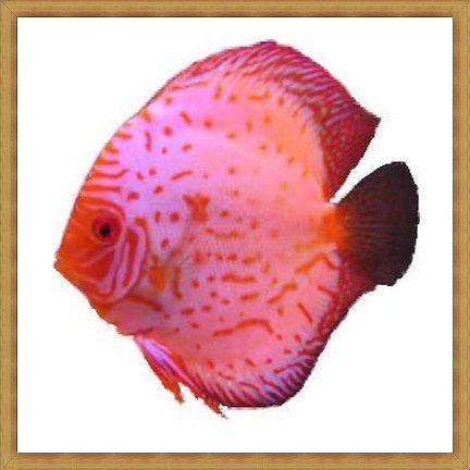 Pigeon Blood White Discus