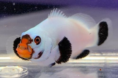 Platinum Percula Clownfish
