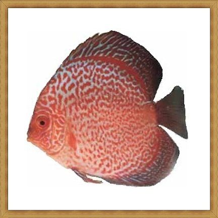 Red Anaconda Discus