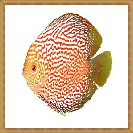 Red Dragon Pigeon Discus