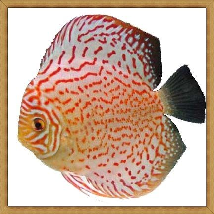 Red Leopard Turquoise Discus