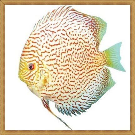 Red Mosaic Discus