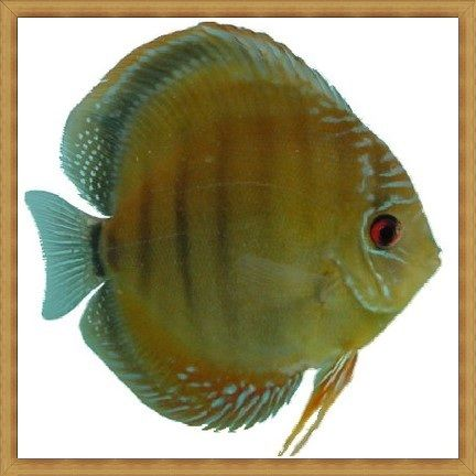 Red Rainbow Discus