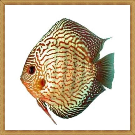Red Royal Green Discus