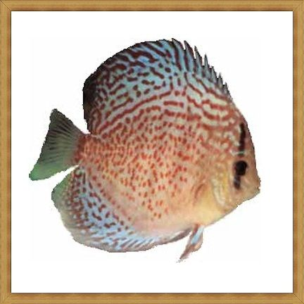 Red Spotted Amazon Green Discus