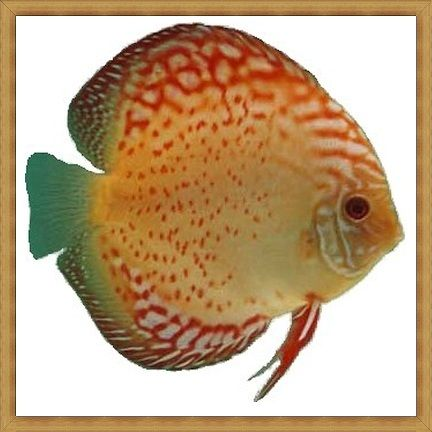 Red Spotted Golden Discus