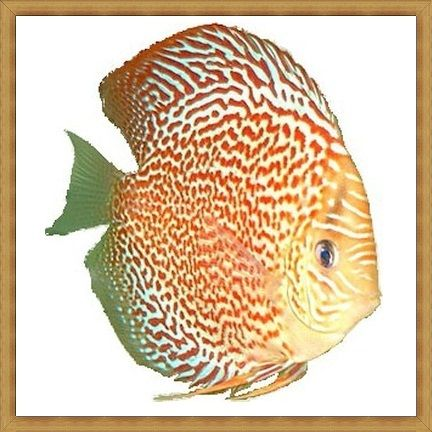 Red Spotted Musical Angel Discus