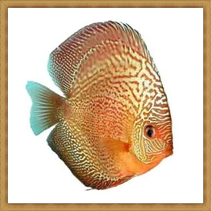 Red Spotted Snakeskin Discus