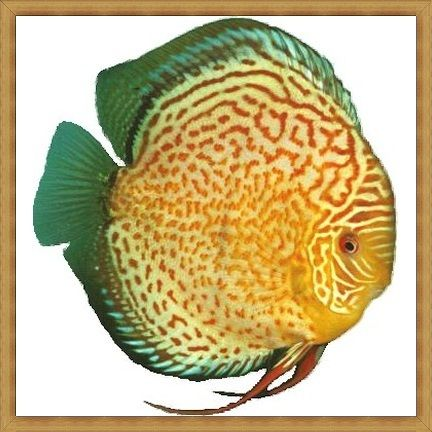 Red Spotted Tropical Green Discus