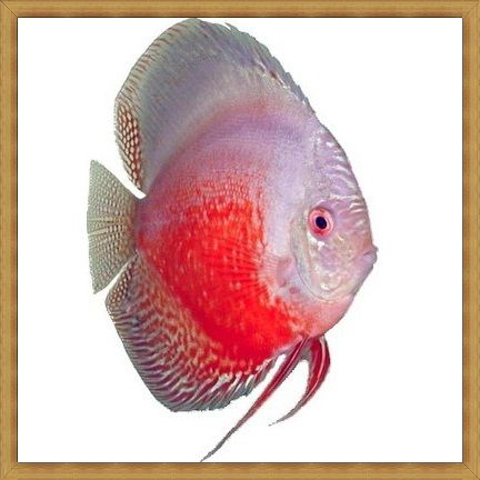 Red White Discus
