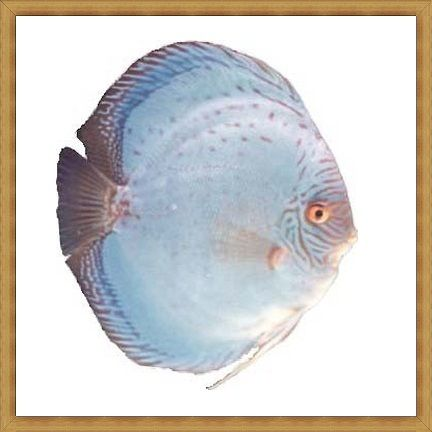 Reflection D Discus
