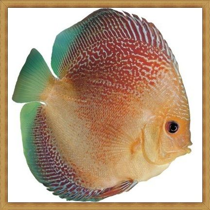 Shooting Star Discus