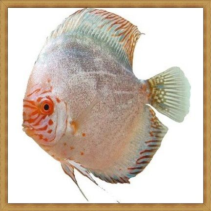 Silver Pigeon Discus