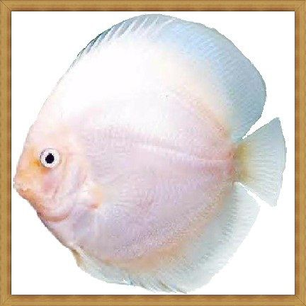 Snow White Discus