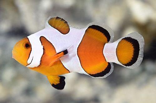 Snowflake Ocellaris DaVinci Clownfish
