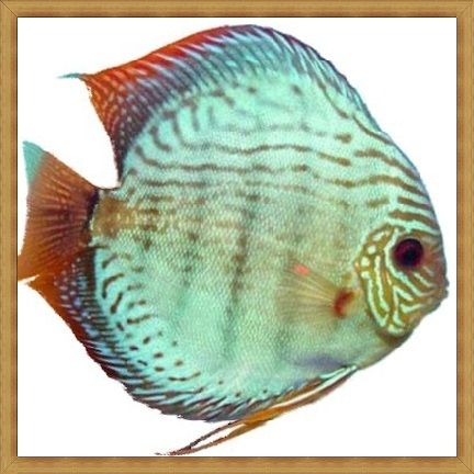 Solid Blue Turquoise Discus