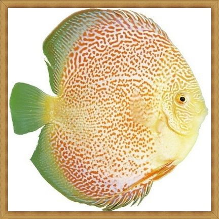 Spotted Eruption Discus