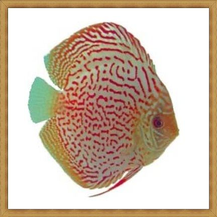 Spotted Pigeon Discus