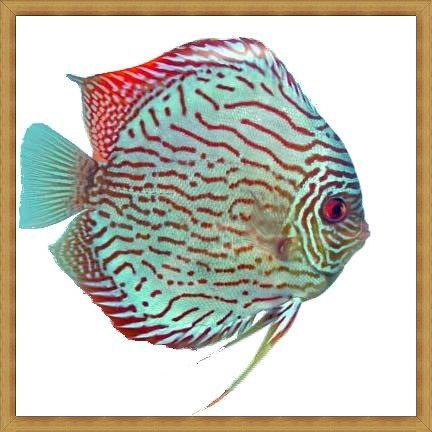 Striated Blue Turquoise Discus