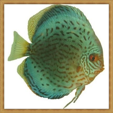 Striated Cobalt Discus