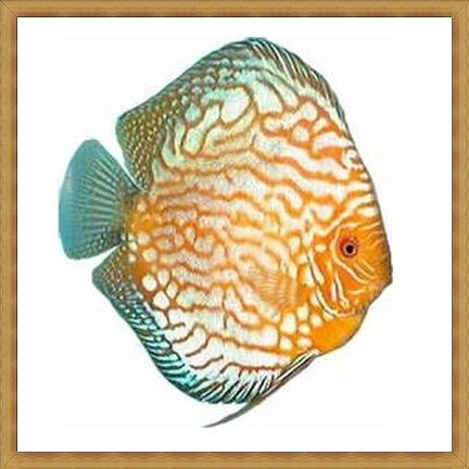 Sunset Tiger Discus