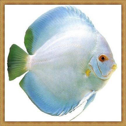 Super Angel Diamond Discus