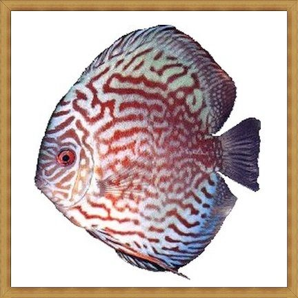 Super Red Royal Discus