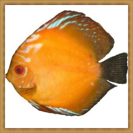 Tangerine Dream Discus